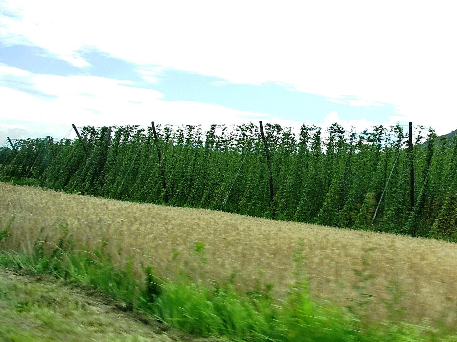 V dolini zelenega zlata...